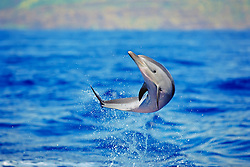 pantropical spotted dolphin calf, Stenella attenuata, leaping, Kona Coast, Big Island, Hawaii, USA, Pacific Ocean