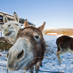 Donkeys at East Hill Farm in Troy, New Hampshire.  Mount Monadnock is in the distance.