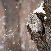 This is the Japanese sub-species of Ural owl (Strix uralensis japonica) yawning while sitting in a tree on a snowy day in Hokkaido. These owls are known as Ezo Fukurou in Japanese.