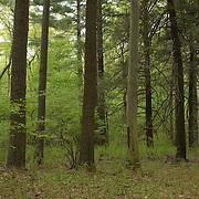 Woodland in the Ipswich River Wildlife Sanctuary, Topsfield, Massachusetts