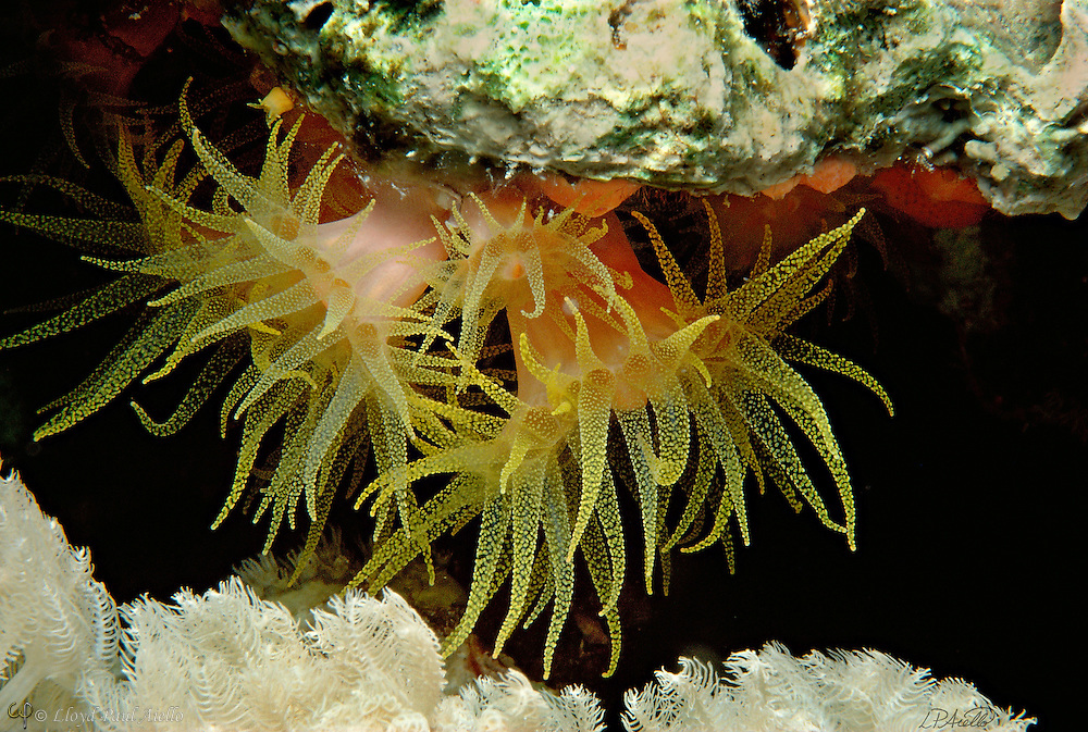 """The ahermatypic Orange Cup Coral (Balanophyllia elegans) extends its 2-inch-long yellow-spotted tentacles to feed at night 50 feet below the surface of the Red Sea at """"The Temple"""", Sinai, Egypt.  Although this organism closely resembles in an anemone, it is actually a true hard coral. Corals are carnivorous animals which feed upon microscopic zooplankton by trapping them with their tentacles. Most corals possess a symbiotic relationship with a class of algal cells known as zoozanthellae and are thus termed hermatypic.  Since algal cells undergo photosynthesis, hermatypic corals can also obtain energy from sunlight. In addition, zoozanthellae reduce the concentration of carbon dioxide within the cells of the hermatypic coral and thus help precipitate calcium carbonate from seawater. Calcium carbonate is a chemical from which a corals calcareous skeleton is made. However, Balanophyllia elegans is an ahermatypic coral and does not associate with algal cells. Consequently, these corals consist of a single polyp and secrete only a simple thin skeleton. Unlike their hermatypic counterparts, ahermatypic corals may be found in all oceans of the world and at depths beyond the reach of sunlight. The white soft coral at bottom (Xenia) exhibits a slow, rhythmic opening and closing movement of unknown function."""