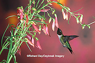 01162-053.14 Ruby-throated Hummingbird (Archilochus colubris) male on Penstemon (Penstemon barbatus) Shelby Co.  IL