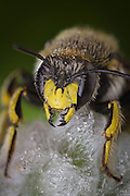 Portrait of a leafcutter bee (Megachile sp.) in the early morning with dew. Western Oregon. The images was stacked in post production from handheld images. Western Oregon.