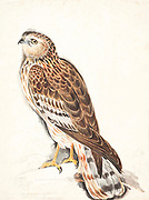 Western Marsh Harrier (Circus aeruginosus), also called Eurasian Marsh Harrier grasping a fish in it's talons. 18th century watercolor painting by Elizabeth Gwillim. Lady Elizabeth Symonds Gwillim (21 April 1763 – 21 December 1807) was an artist married to Sir Henry Gwillim, Puisne Judge at the Madras high court until 1808. Lady Gwillim painted a series of about 200 watercolours of Indian birds. Produced about 20 years before John James Audubon, her work has been acclaimed for its accuracy and natural postures as they were drawn from observations of the birds in life. She also painted fishes and flowers. McGill University Library and Archives