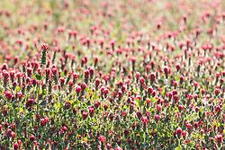 Purple paintbrush (Castilleja purpurea) wildflowers in field near the Red River, Denison, Texas, USA.