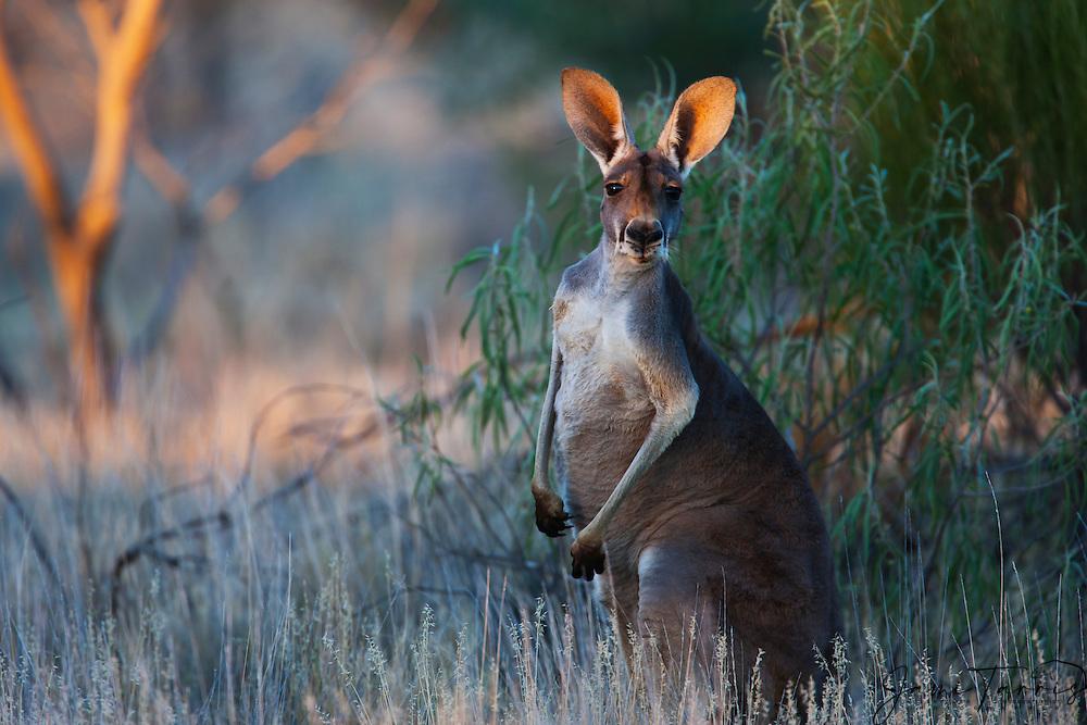 Red kangaroo  (Macropus rufus)  portrait in warm evening light,  Sturt Stony Desert,  Australia