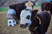 Mongolie, province de Bayankhongor, campement nomade, traite des yaks // Mongolia, Bayankhongor province, nomad camp, yak milking