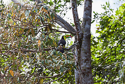 Toucan perching on tree branch in national park, Costa Rica