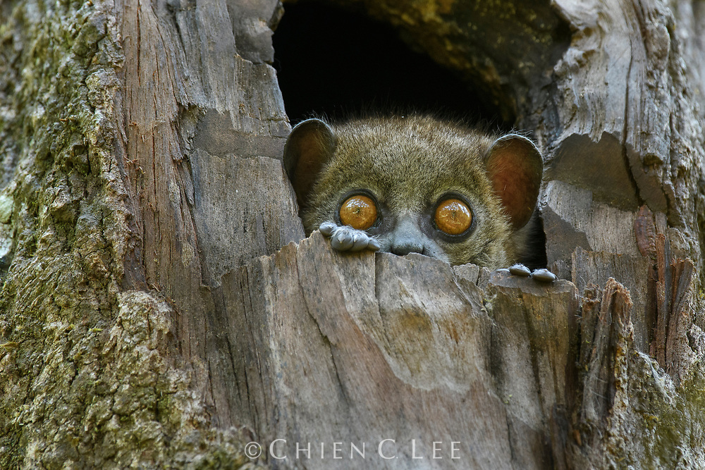 A Small-toothed Sportive Lemur (Lepilemur microdon) peers curiously from its tree hole in the montane forest of Ranomafana National Park, Madagascar. Usually emerging only at night, sportive lemurs frequently wake to keep a watchful eye out for intruders into their territory. Not long ago only 8 species of Lepilemur were known from Madagascar, but recent molecular work has resulted in at least 26 distinct species now being recognized, with more sure to follow.