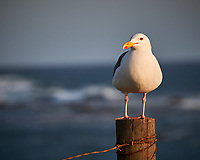 Western Gull. Image taken with a Nikon D3x camera and 70-300 mm VR lens.