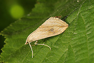Garden Pebble - Evergestis forficalis