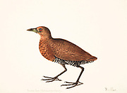 The slaty-legged crake or banded crake (Rallina eurizonoides) is a waterbird in the rail and crake family, Rallidae. 18th century watercolor painting by Elizabeth Gwillim. Lady Elizabeth Symonds Gwillim (21 April 1763 – 21 December 1807) was an artist married to Sir Henry Gwillim, Puisne Judge at the Madras high court until 1808. Lady Gwillim painted a series of about 200 watercolours of Indian birds. Produced about 20 years before John James Audubon, her work has been acclaimed for its accuracy and natural postures as they were drawn from observations of the birds in life. She also painted fishes and flowers. McGill University Library and Archives
