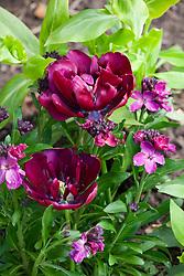 Tulipa 'Antraciet' with Erysimum cheiri 'Dark Purple' - wallflower