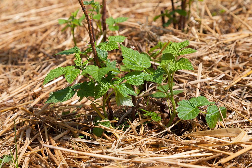 Raspberry plants growing in straw mulch.