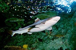 blacktip reef shark, female (c), .Charcharhinus melanopterus, .(Indo-Pacific).
