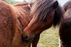 Bella the  Shetland pony who was attacked by dogs on Moss Road, Totley examines her wound<br /> <br /> 21 May 2013<br /> Image © Paul David Drabble<br /> www.pauldaviddrabble.co.uk