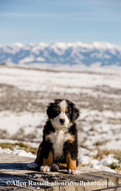 Bernese Mountain Dog, puppy, male, ten weeks, Crazy Mountains, Montana, PROPERTY RELEASED