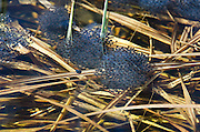 Clutches of Wood Frog eggs (Rana sylvatica) in a vernal pool, Acadia National Park, Maine.