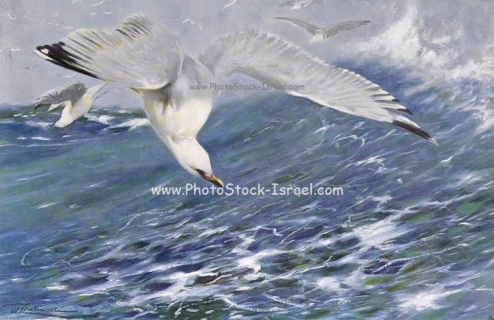 Silver Gull (Larus argentatus) from the book '  Animal portraiture ' by Richard Lydekker, and illustrated by Wilhelm Kuhnert, Published in London by Frederick Warne & Co. in 1912