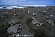 female olive ridley sea turtles, Lepidochelys olivacea, crowd nesting beach during arribada ( mass nesting ), Ostional, Costa Rica ( Eastern Pacific Ocean )