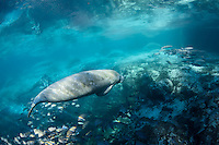 A manatee swims over the warm Big Sister spring at Three Sisters Springs towards the shallow sunlit areas that rim the spring. Mangrove snapper (Lutjanus griseus) and white mullet (Mugil curema also seek warmth and minerals from Florida's underwater aquifer bubbling up. The round marks on the manatee's back are from barnacles shed earlier in the season. The big spring is rimmed with manatees, resting and socializing. Florida manatees come to Three Sisters Springs during the cooler months to rest and stay warm. Taken in the Crystal River National Wildlife Refuge, Kings Bay, Crystal River, Citrus County, Florida USA. Florida manatee, Trichechus manatus latirostris, a subspecies of the West Indian manatee