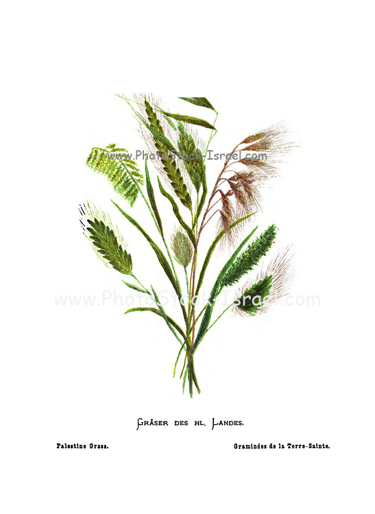 Various Palestinian grasses From the book Wild flowers of the Holy Land: Fifty-Four Plates Printed In Colours, Drawn And Painted After Nature. by Mrs. Hannah Zeller, (Gobat); Tristram, H. B. (Henry Baker), and Edward Atkinson, Published in London by James Nisbet & Co 1876 on white background