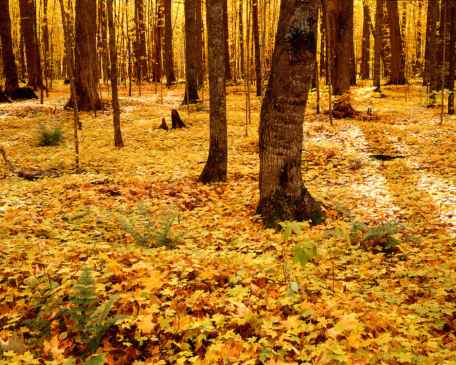 Ottawa National Forest, Gogebic County, Michigan, October, 1991.