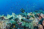 Hawksbill Turtle (Eretmochelys imbricata)<br /> Raja Ampat<br /> West Papua<br /> Indonesia<br /> Feeding on soft corals<br /> Critically Endangered