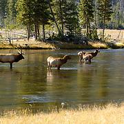 Elk (Cervus canadensis) Bull with harem. Fall rut. Yellowstone National Park.