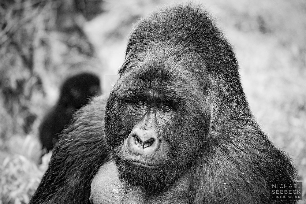 A monochrome portrait of a male (silverback) mountain gorilla (Gorilla beringei beringei) captured in Mgahinga NP, Uganda. A juvenile is just visible over his right shoulder.<br /> <br /> 3:2 Photographic Print. Available in 30in (76cm) to 50in (127cm) sizes.<br /> <br /> Limited Edition of 55 only.<br /> <br /> Code: LFUS0001
