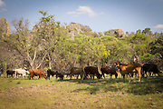 Cattle grazing within the boundry of Matobo National Park, Zimbabwe.