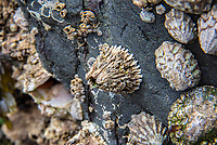 The thatched barnacle is common barnacle found along the Northern Pacific coast from Alaska to Baja California, but is most common on the rocky shores of Washington state and Oregon. It is easy to identify by the interesting vertical ribbing on the six wall plates that form its shell. This one was found at low tide on a rocky outcrop in Washington's Deception Pass.