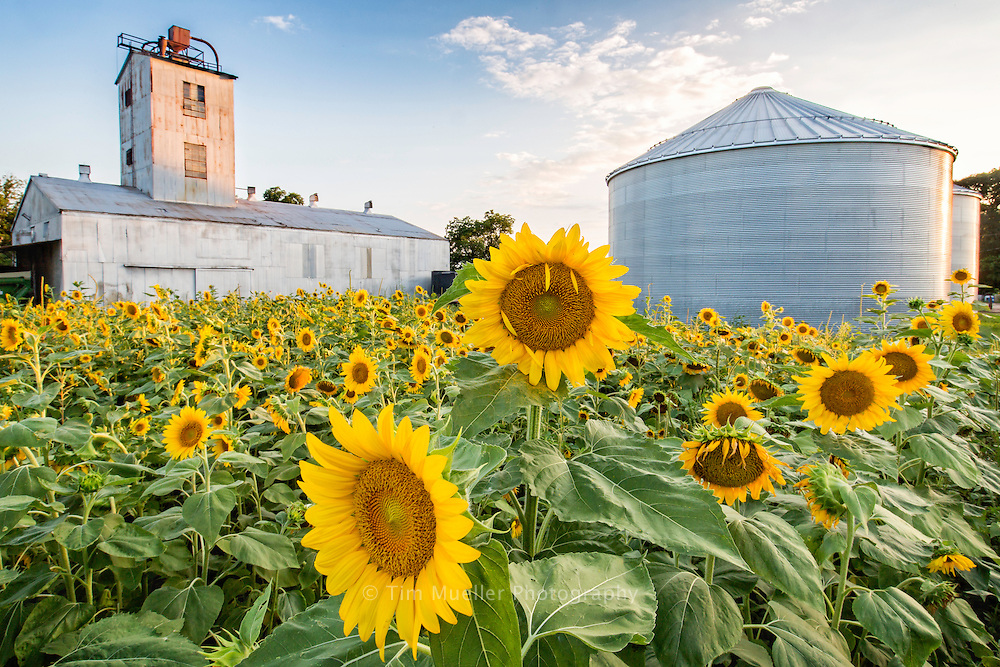 The town of Gilliam, Louisiana celebrates the Sunflower Trail and Festival each year as sunflowers bloom along Louisiana Hwy. 3049 and in the small farming communities along the Red River in northern Caddo Parish.