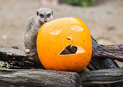 © Licensed to London News Pictures; 21/10/2020; Bristol, UK. Wild Place Project. Animals at Wild Place Project get an early taste of Halloween as they are given specially carved pumpkins. The pumpkins were hung up for the giraffes, and they were also placed on the rocks where the gelada baboons live and filled with chopped up vegetables. On the other side of Wild Place Project the colony of meerkats were given their own pumpkins containing crickets. It marks the start of the build-up to Halloween at Wild Place Project where the leaves are changing to glorious colours for autumn. Photo credit: Simon Chapman/LNP.