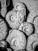 Fossils near Erfoud, Morocco.