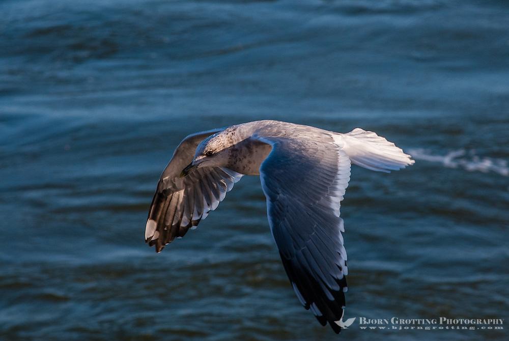 Russia, Sakhalin, Sea of Okhotsk. Mew gulls feeding outside the north-east coast of Sakhalin.