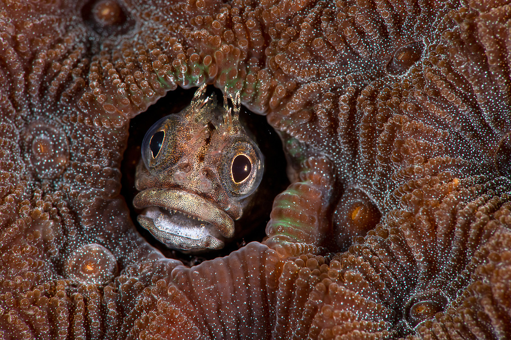Undescribed blenny, Blenniidae, tiny, with a wide head and feathery tentacles, Longdong, Northeast, Taiwan. <br />Longdong (Dragon Cave) is the largest bay on the Northeast Coast and the bay host an abundant marine life.