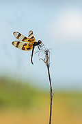 A dragonfly awaits passing insects on his pearch.