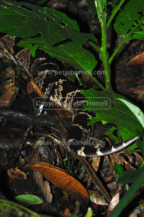 Ecuador, May 5 2010: View of the tail of a South American bushmaster, Lachesis muta, lying next to a log near the Huaorani Ecolodge. Copyright 2010 Peter Horrell