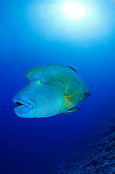 Cheilinus undulatus, Napoleon-Lippfisch, Napoleon, Riesenlippfisch, Humphead wrasse, Napoleon Fish or Wrasse, Brother Inseln, Kleiner Bruder, Rotes Meer, Ägytpen, Little Brother, Brother Islands, Brothers, Red Sea, Egypt