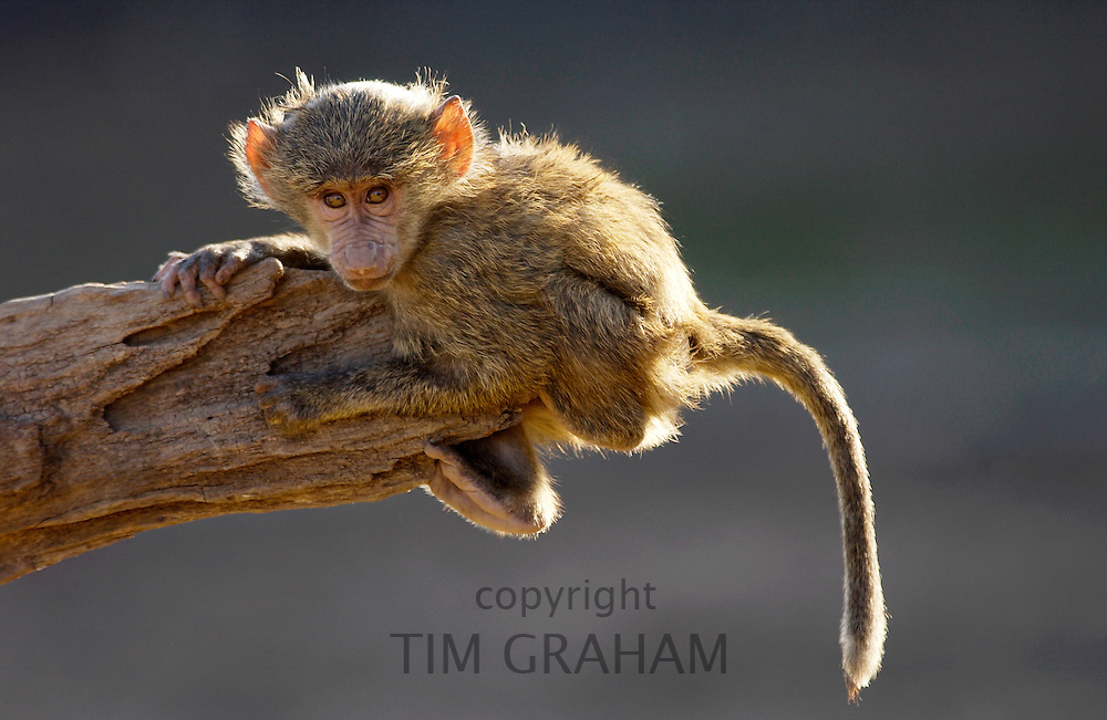 Baby Olive Baboon hanging on a branch. Grumeti, Tanzania, East Africa