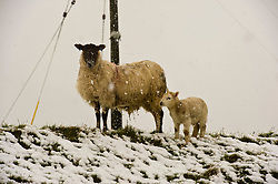 Pictured: Lambs have to be hardy when born in Scotland<br /> <br /> Poor weather conditions are taken in their stride by animals and workers on the A701 between Broughton and Moffat. <br /> <br /> Ger Harley | EEm 23 February 2017