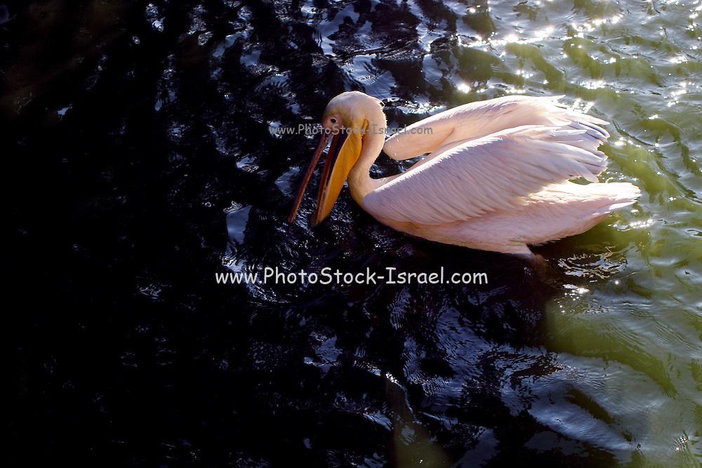 pelican swimming in a lake.