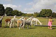 Alpacas in the paddock at Hares Farm. CREDIT: Vanessa Berberian for The Wall Street Journal<br /> UKFARM-Hares Farm