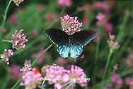 03004-00404 Pipevine Swallowtail (Battus philenor) on Verbena (Verbena bonariensis), Marion Co.  IL