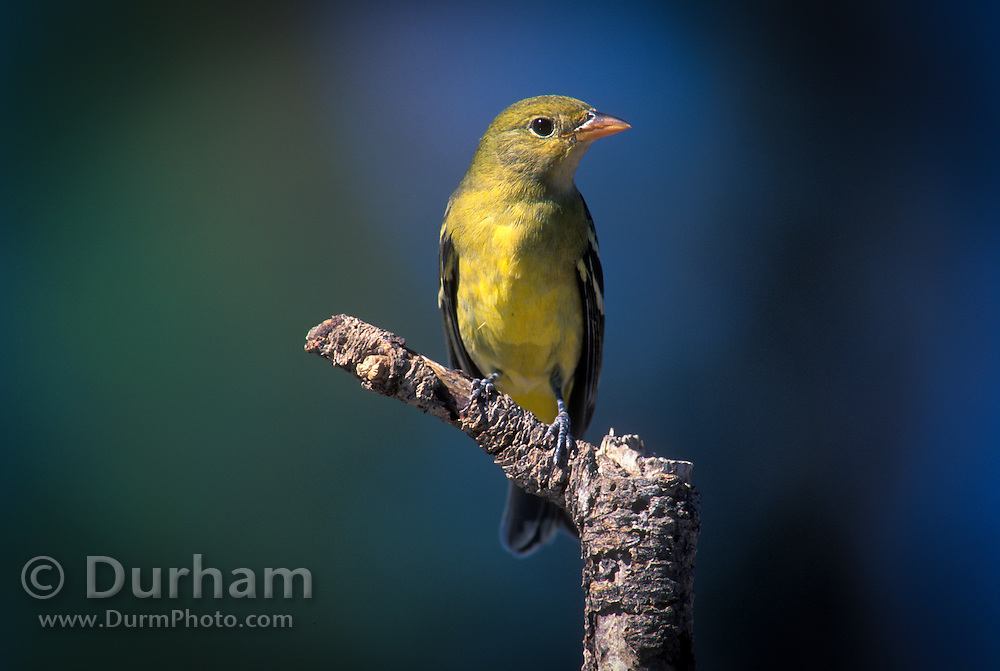 A female western tanager (Piranga ludoviciana) at the Cabin Lake Bird Blind, near fort rock in the high-desert of Oregon.