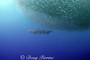 "sand tiger shark, Carcharias taurus, (ragged-tooth shark), follows a baitball of sardines, Sardinops sagax, off South Africa's ""Wild Coast"" (Transkei), Indian Ocean"
