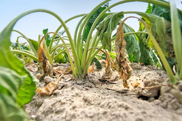 Nederland, Groesbeek, 6-7-2018 Akkerbouw heeft in toenemende mate last van de langdurige, aanhoudende droogte. Een veld suikerbieten heeft het loof slap hangen, en zal spoedig verdrogen . Foto: Flip Franssen