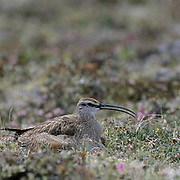 Whimbrel (Numenius phaeopus) along the shores of Wager Bay in the Northwest Territories of Canada.