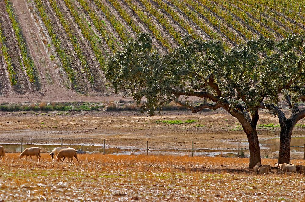 Dry, barren fields with oak trees. Vineyards. Sheep  grazing. Herdade da Malhadinha Nova, Alentejo, Portugal